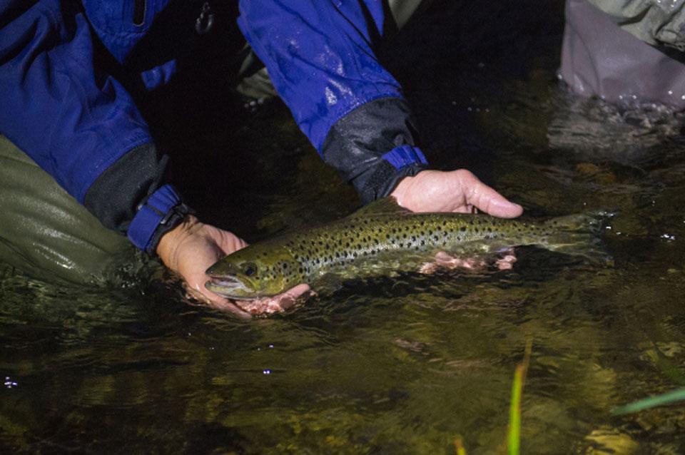 New England Landlocked Salmon
